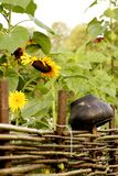 Wicker fence, sunflowers and pot stock photos