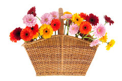 Wicker full with Gerber flowers Royalty Free Stock Photo