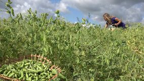 Wicker plate with green pea and blurred woman gather pea pod. 4K stock video footage