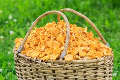 Wicker willow basket of freshly cut mushrooms Stock Photos