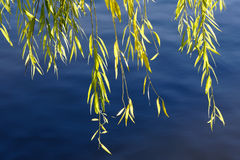 Wickers. The leaves of willow turn to yellow in the autumn Stock Images