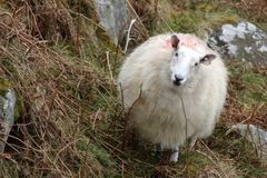 Wicklow Mountain Cheviot Sheep Frontal Portrait. Branded and tagged cheviot sheep grazing in Ireland mountains.  Full body image of sheep in natural habitat Royalty Free Stock Images