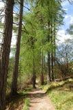Wicklungsweg durch die hohen Lärchenbäume in Corrieshalloch-Schlucht stockfotos
