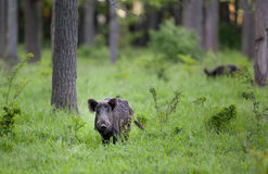 Wid boar in forest Royalty Free Stock Image