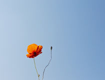 Wild poppy flower against blue sky. Bright orange wild poppy flower and bloom against a blue sky Royalty Free Stock Photography