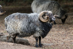 Widder male sheep. A single widder male sheep Stock Photo