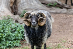 Widder male sheep Stock Photos
