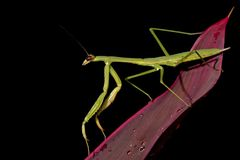Wide abdomen praying mantis Stock Image
