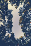 Wide aggle view under pine trees and colourful sky at sunset Royalty Free Stock Photos