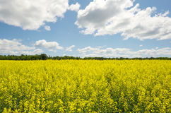 Wide angle canola field with clouds. Stock Image