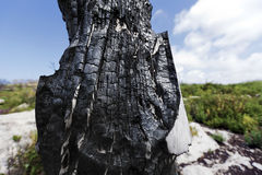 Burnt Tree Trunk in the Wild. Wide angle close up of a burnt tree trunk, the spectacular aftermath of a forest fire, in the middle of the green wilderness on a Stock Image