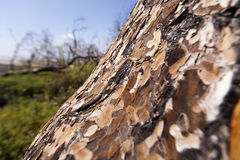 Log in the Wild. Wide angle close up of a pine tree log on the blurry background of green weeds, bare trees and clear blue sky. Shallow depth of field Stock Images