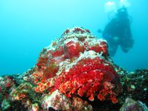 Wide angle close up of a spotted scorpionfish stock images