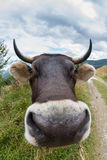 Wide angle cow with big nose and horns is funny Royalty Free Stock Photos