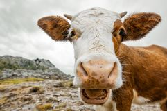 Wide angle cow portrait. Alps in South Tyrol - Staller Sattel - Austria Stock Images