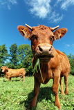 Wide angle cow Royalty Free Stock Photos