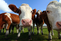 Wide-angle cows Royalty Free Stock Photography