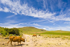 Wide angle of cows in a field Royalty Free Stock Photography