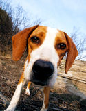 Wide angle dog Royalty Free Stock Photos