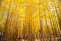 Wide angle fall Aspen Trees Stock Images