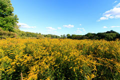 Wide angle field of goldenrod Stock Photo