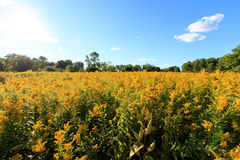 Wide Angle Field Of Goldenrod Royalty Free Stock Photo