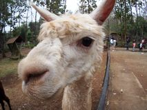 White animal looks similar to ALPACA or LAMA. Wide angle fisheye lens close-up making funny image of a small size cute little white animal looks similar to Royalty Free Stock Photo
