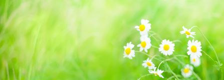 Wide angle flowers Summer background. Daisies flowers field wide angle background in Summer Day with selective focus. Beautiful nature scenes with blooming Royalty Free Stock Images