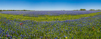 A Wide Angle High Resolution Panoramic View of a Field of Famous Texas Bluebonnets Royalty Free Stock Photo