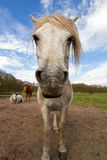 Wide angle horse portrait Stock Photos