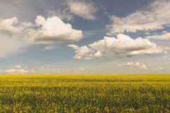Wide Angle Landcape of Blooming Canola Field Stock Image