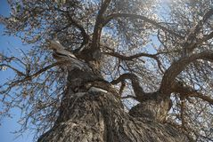 Large almond tree seen from below royalty free stock photo