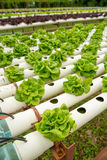 Wide angle of a lettuce hydroponics system Stock Photos