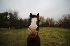 Wide-Angle Macro Of Horse Royalty Free Stock Images