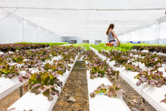 Wide angle of organic hydroponic vegetable farm in Thailand Royalty Free Stock Images