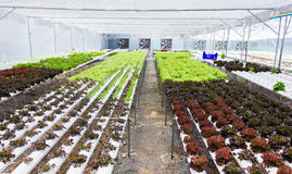 Wide angle of organic hydroponic vegetable farm in Thailand Stock Images