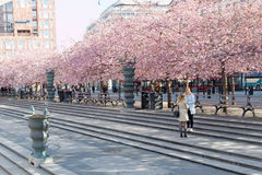 Wide angle of park with beautiful blooming cherry trees and peop Stock Images