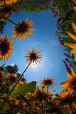 Flowers From Below 2592. Wide angle perspective on black-eyed Susan flowers with the blue sky in the background stock photos