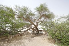 Wide angle perspective, a side view of tree of life Bahrain. A 400 year-old mesquite tree which lives in the middle of desert Stock Images