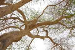 Wide angle perspective of tree of life Bahrain. A 400 year-old mesquite tree which lives in the middle of desert Royalty Free Stock Photo