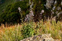 Wide angle photo of wild flowers in mountain valley. Royalty Free Stock Images