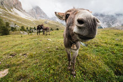 Wide angle picture of donkey in Dolomites Stock Photography