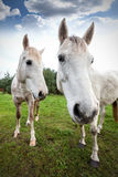 Wide angle picture of two horses, shallow depth of field Royalty Free Stock Photos
