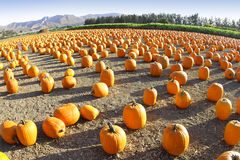 Wide-Angle Pumpkin Patch Royalty Free Stock Photo
