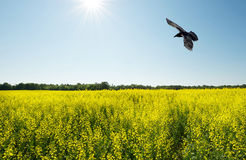 Wide angle raven over field. Royalty Free Stock Photos