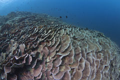 Wide-angle seascape of plate coral reef Royalty Free Stock Photo