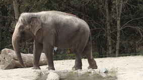 Wide angle shot of an animal elephant in captivita walking around in a zoo. stock footage