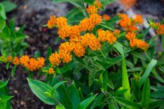 Wide angle shot of a blooming orange butterfly bush. A wide angle shot of a blooming orange butterfly bush royalty free stock image