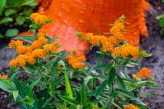 Wide angle shot of a blooming orange butterfly bush. A wide angle shot of a blooming orange butterfly bush stock photos