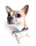 Wide angle shot of chihuahua doggy. Wide angle shot of sitting chihuahua doggy with grey bow tie isolated on white Royalty Free Stock Photography